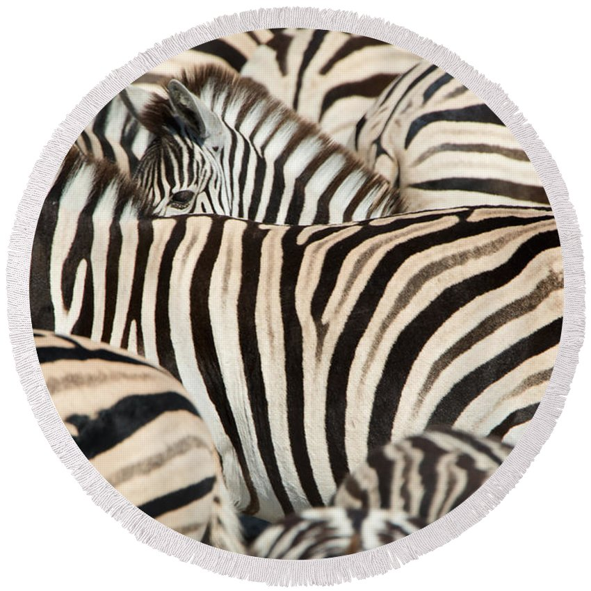 Photography Round Beach Towel featuring the photograph Burchells Zebras Equus Quagga by Panoramic Images