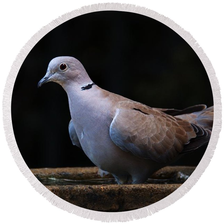 Collared Dove Round Beach Towel featuring the photograph Collared Dove by Chris Day