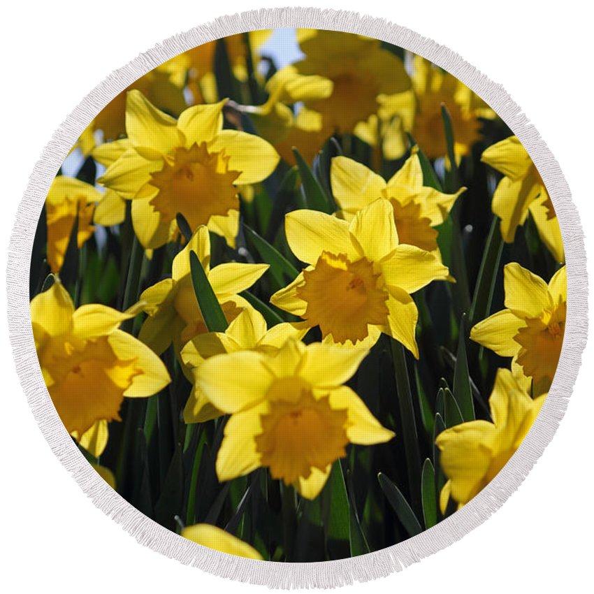Daffodils In The Sunshine Round Beach Towel featuring the photograph Daffodils In The Sunshine by Julia Gavin