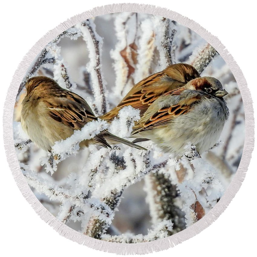 Sparrows Round Beach Towel featuring the photograph 3 Frosty Friends by Kay Hodges