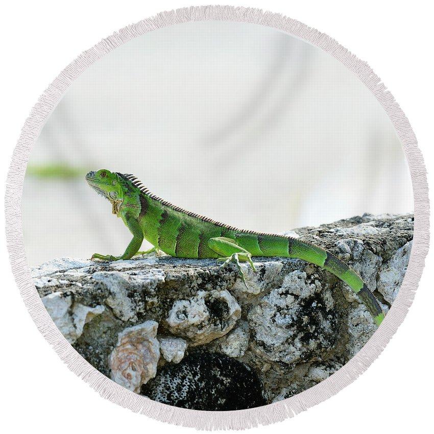 Iguana Round Beach Towel featuring the photograph Green Iguana by Svetlana Foote