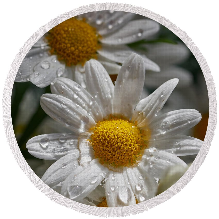 Finland Round Beach Towel featuring the photograph Marguerite Daisy by Jouko Lehto
