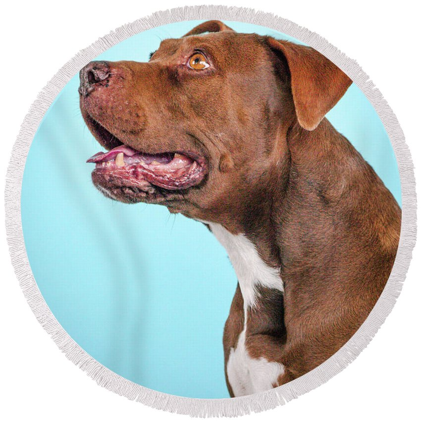 Dog Round Beach Towel featuring the photograph Metta by Pit Bull Headshots by Headshots Melrose