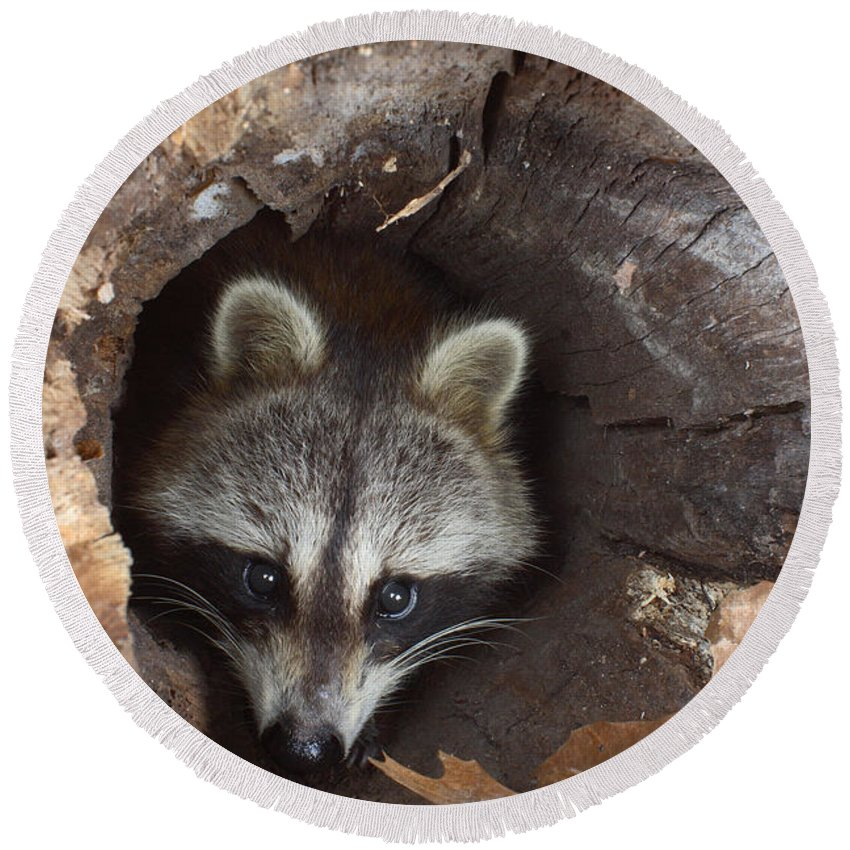 Procyon Lotor Round Beach Towel featuring the photograph Raccoon Procyon Lotor by Ted Kinsman