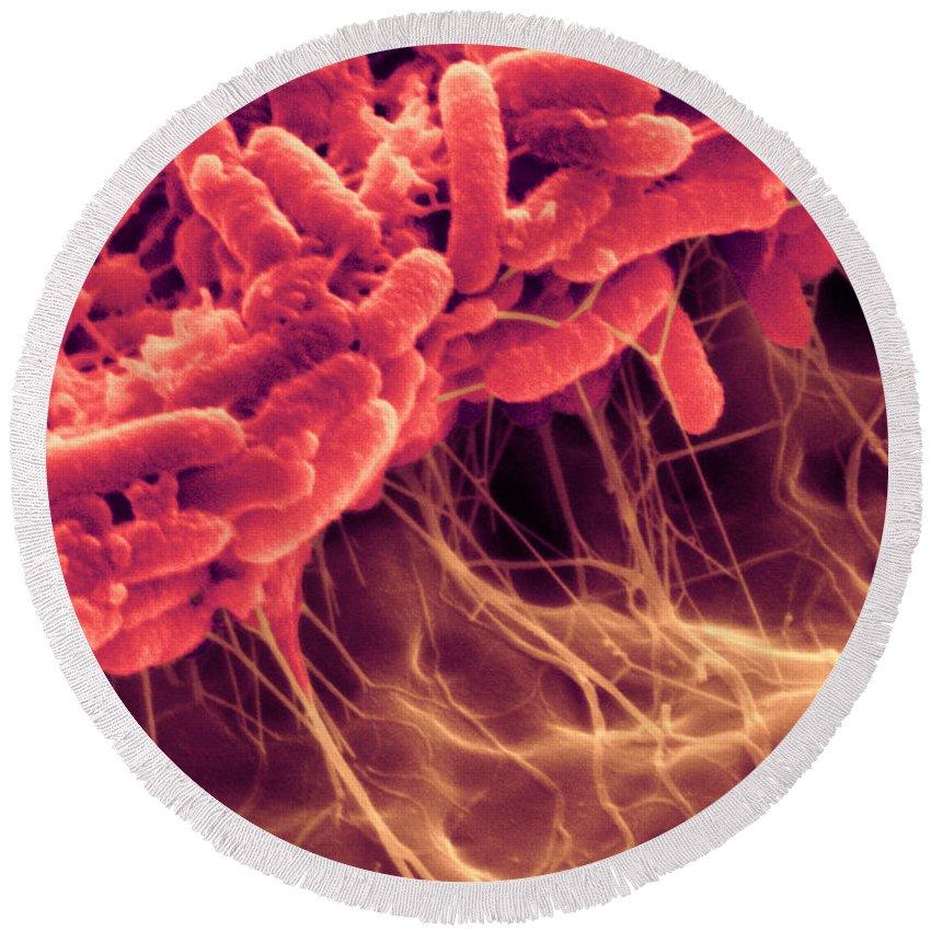 Pathogen Round Beach Towel featuring the photograph Serratia Liquefaciens Biofilm Sem by Scimat