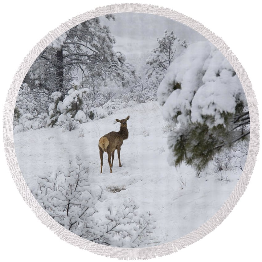 Elk Round Beach Towel featuring the photograph Elk In Deep Snow In The Pike National Forest by Steve Krull
