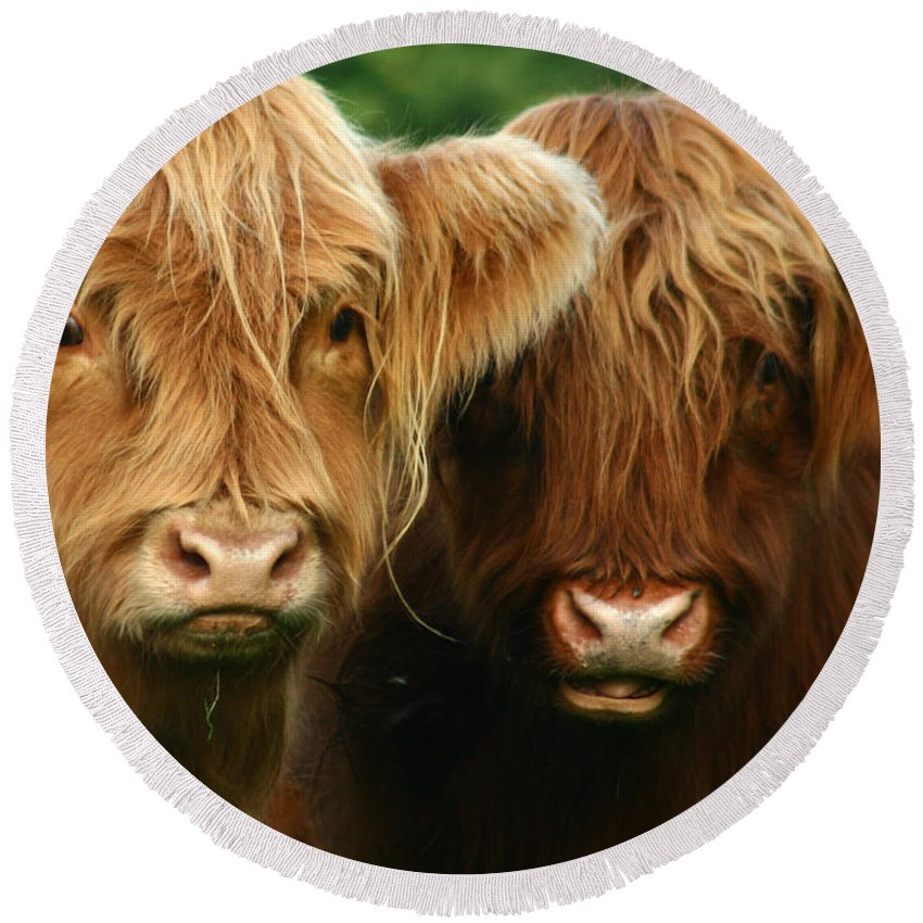 Cow Round Beach Towel featuring the photograph Highland Cattle by Angel Ciesniarska