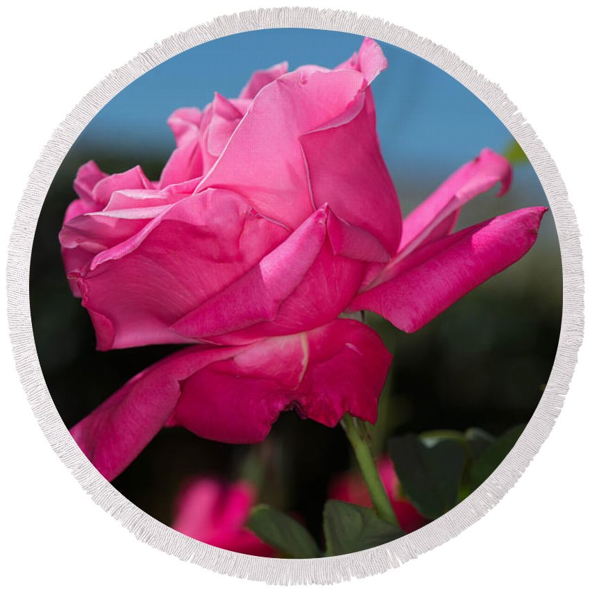 Rose Round Beach Towel featuring the photograph Pink Rose by Michael Moriarty