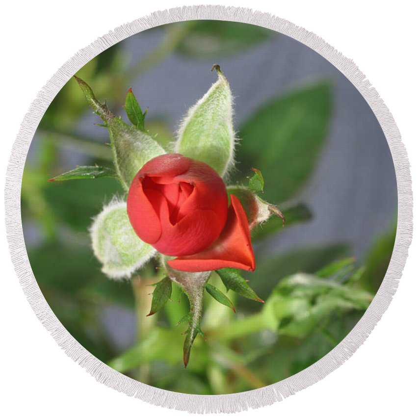 Flora Round Beach Towel featuring the photograph Red Rose Blooming by Ted Kinsman