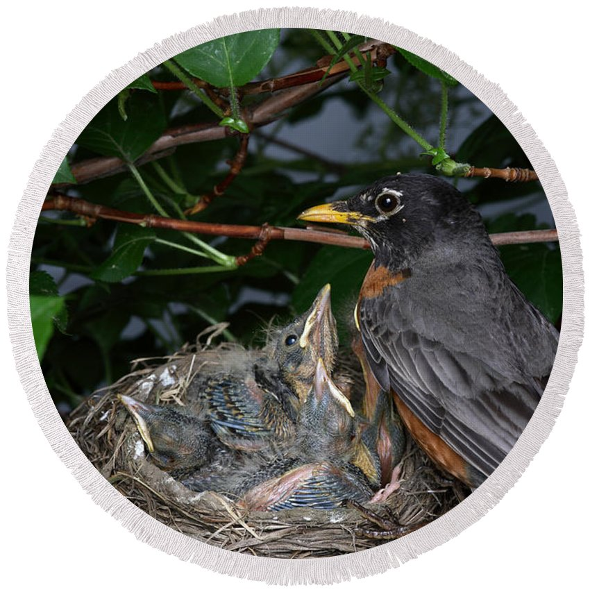 Robin Round Beach Towel featuring the photograph Robin Feeding Its Young by Ted Kinsman