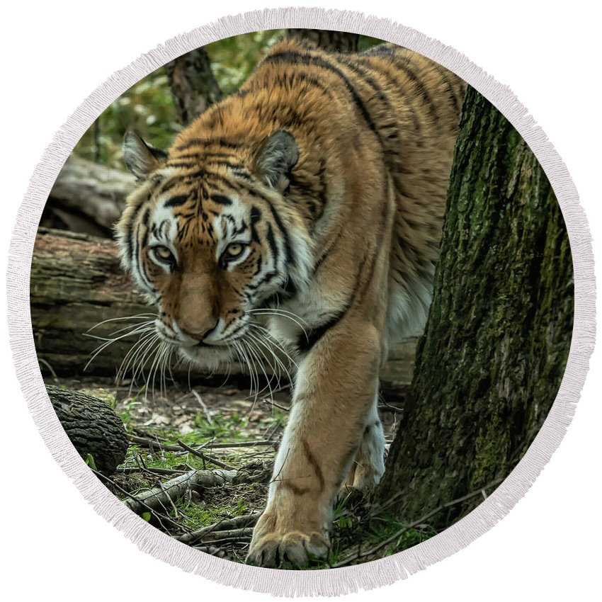 Tiger Round Beach Towel featuring the photograph Tiger by David Pine