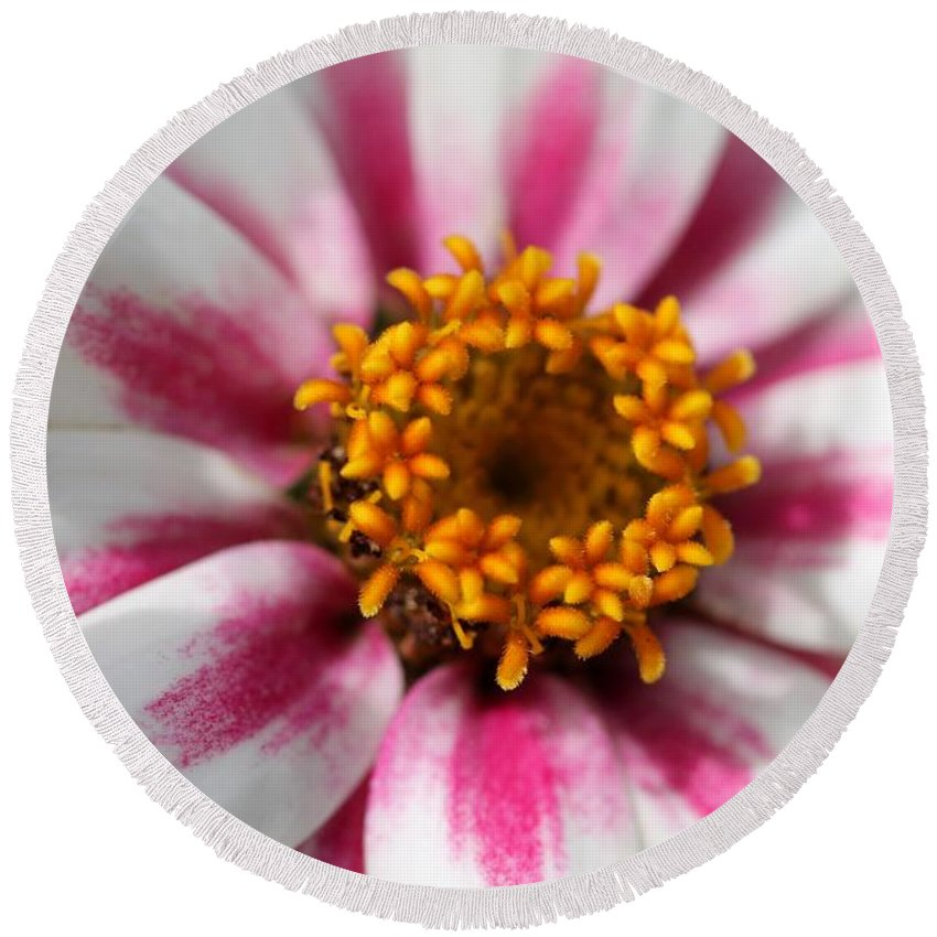 Mccombie Round Beach Towel featuring the photograph Zinnia Named Zahara Starlight Rose by J McCombie