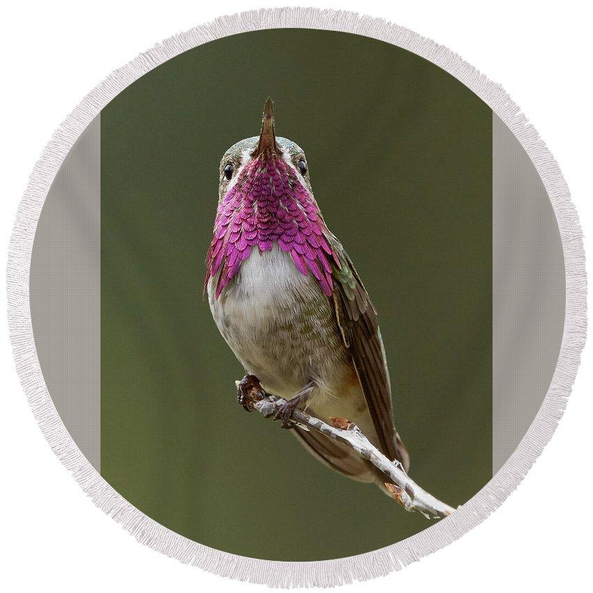 Birds Round Beach Towel featuring the photograph Calliope Hummingbird by Doug Herr