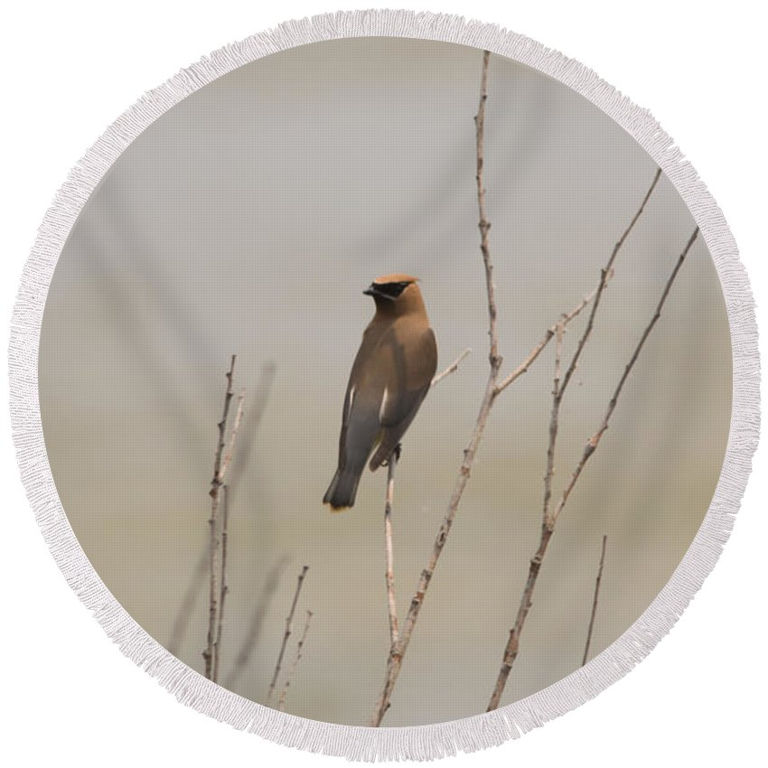 Cedar Waxwing Round Beach Towel featuring the photograph Looking Back by Linda Kerkau
