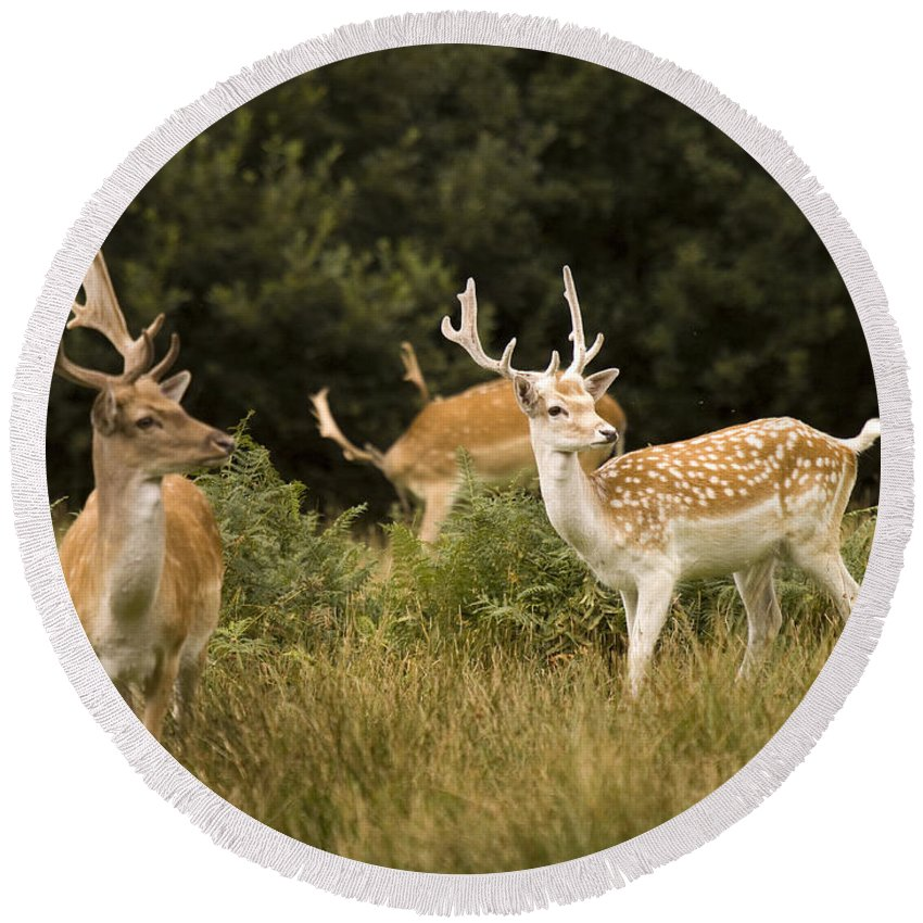 Fallow Deer Round Beach Towel featuring the photograph Fallow Deer by Angel Ciesniarska