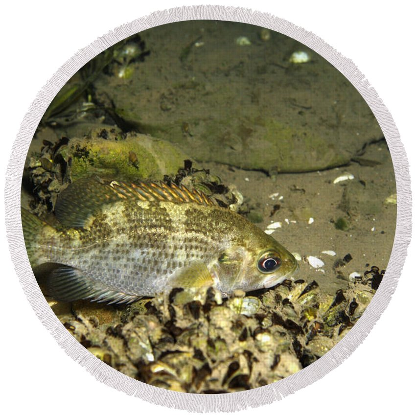Fish Round Beach Towel featuring the photograph Rock Bass by Ted Kinsman