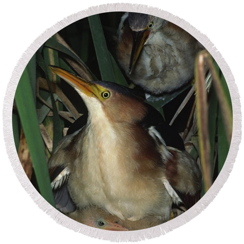 Native Round Beach Towel featuring the photograph Least Bitterns On Nest by Mark Wallner