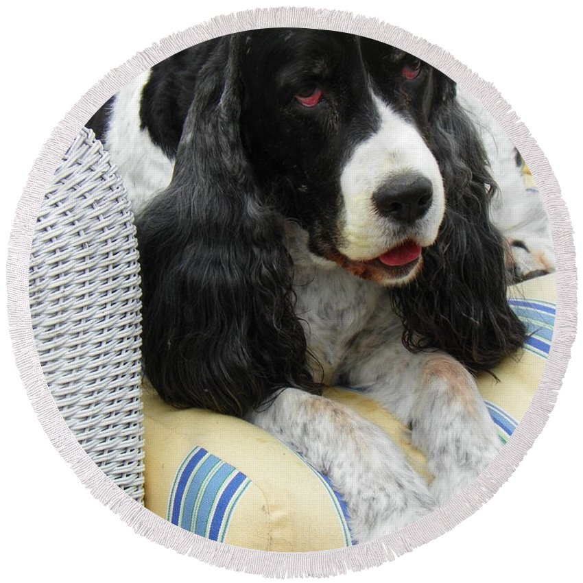 #940 D1033 Farmer Browns Springer Spaniel Round Beach Towel featuring the photograph #940 D1033 Farmer Browns Springer Spaniel by Robin Lee Mccarthy Photography