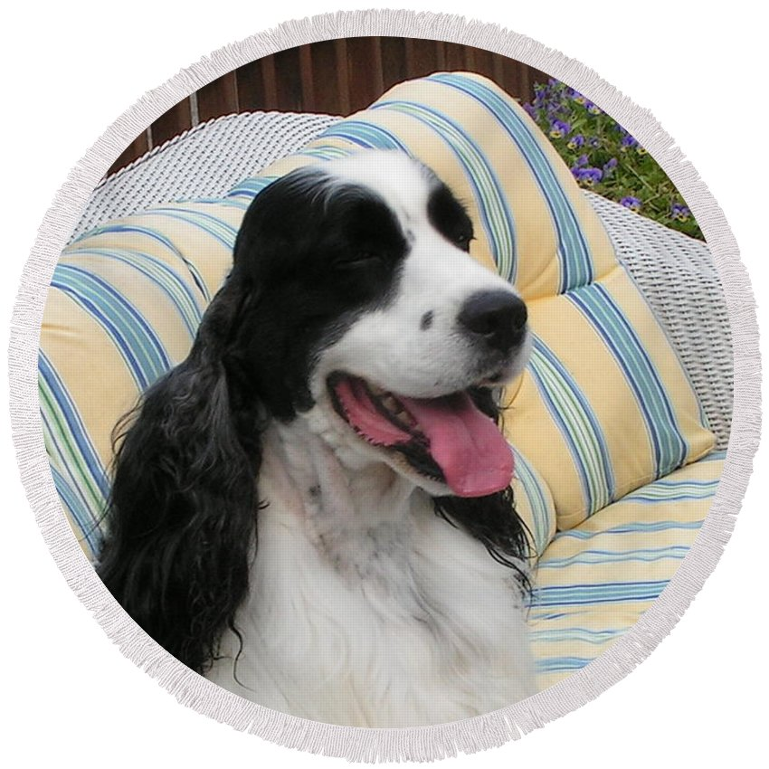 #940 D1066 Farmer Browns Happy Round Beach Towel featuring the photograph #940 D1066 Farmer Browns Springer Spaniel Happy by Robin Lee Mccarthy Photography