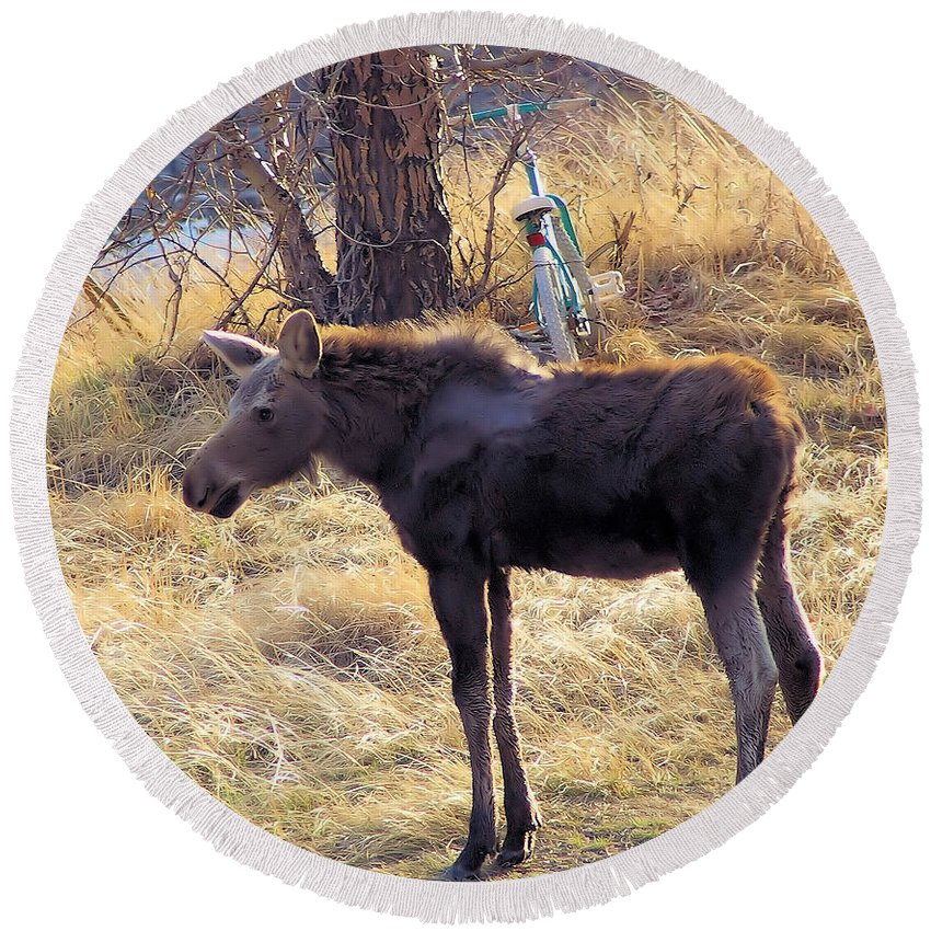 Wildlife Round Beach Towel featuring the photograph A Moose In Early Spring by Jeff Swan