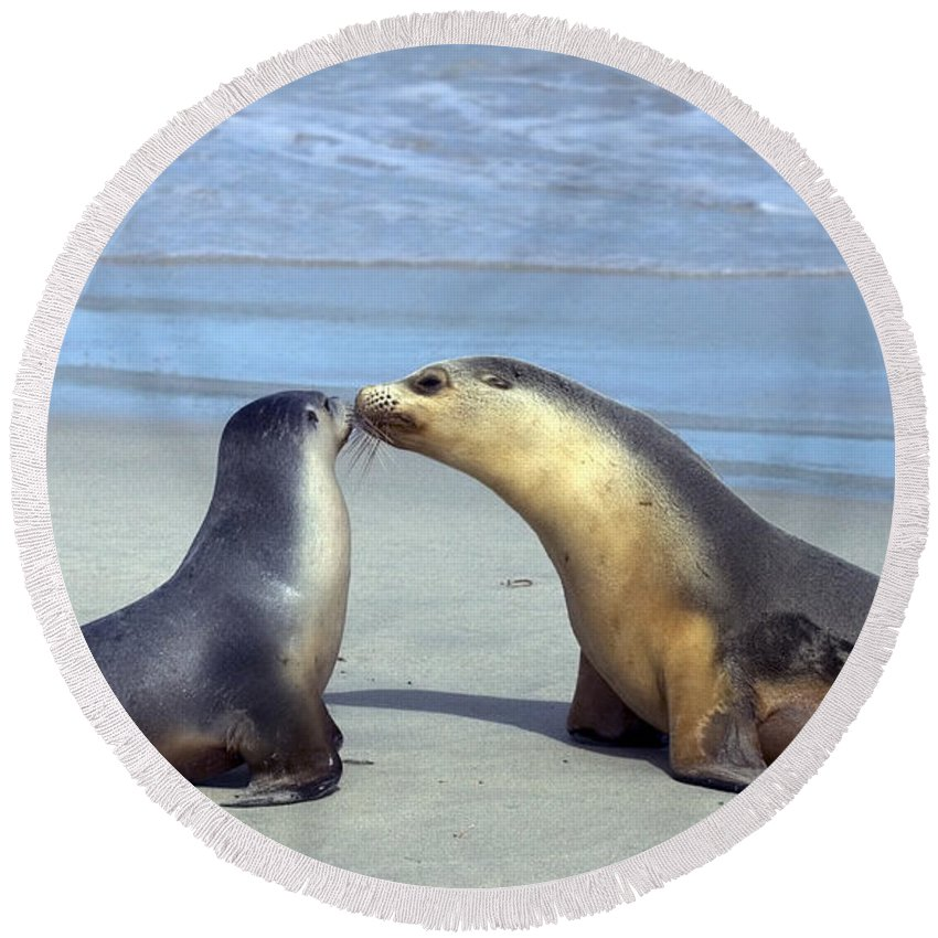 Sea Lion Round Beach Towel featuring the photograph A Mothers Love by Mike Dawson