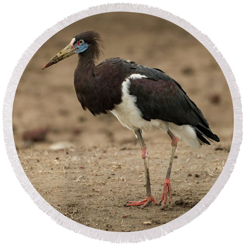 Abdim's Stork Round Beach Towel featuring the photograph Abdim Stork Walks Right-to-left Across Muddy Ground by Ndp