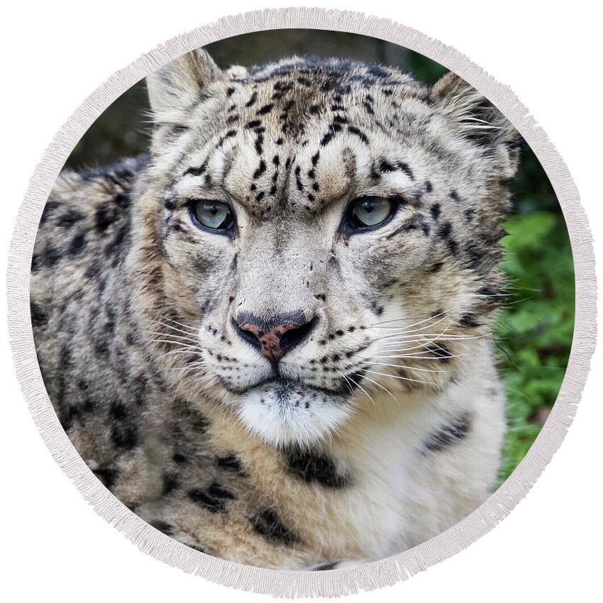 Leopard Round Beach Towel featuring the photograph Adult Snow Leopard Portrait by Jane Rix