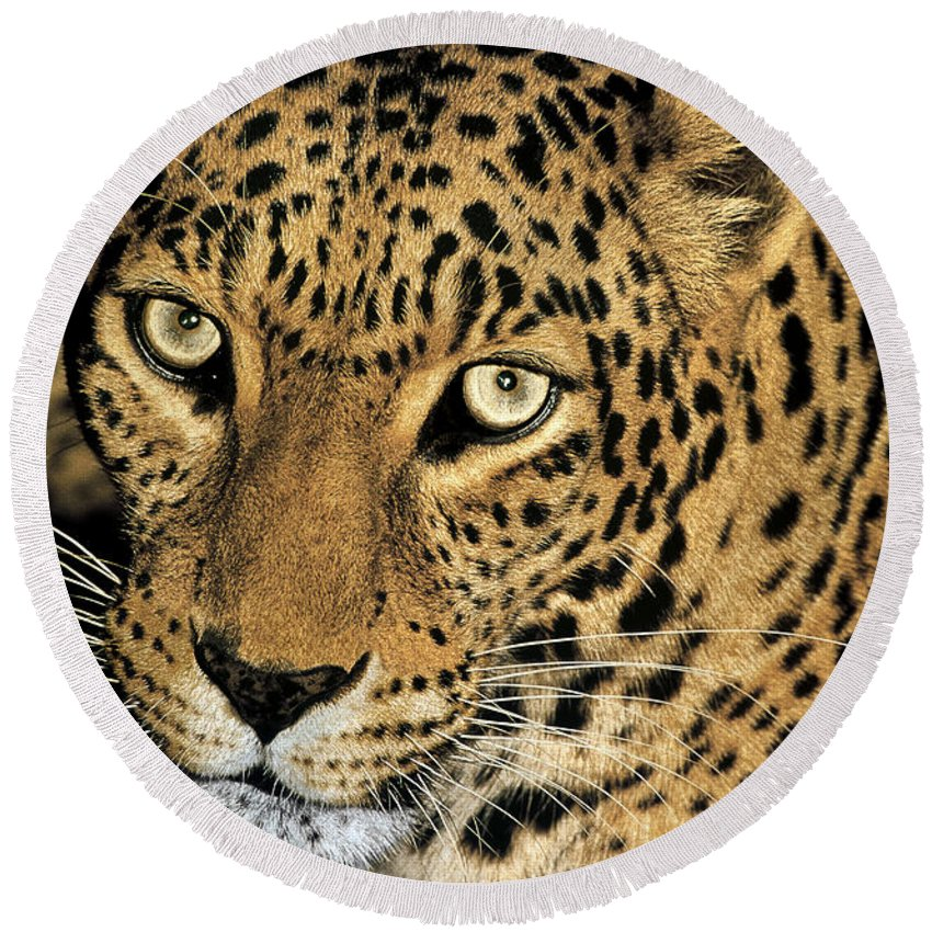 Dave Welling Round Beach Towel featuring the photograph African Leopard Panthera Pardus Captive Wildlife Rescue by Dave Welling