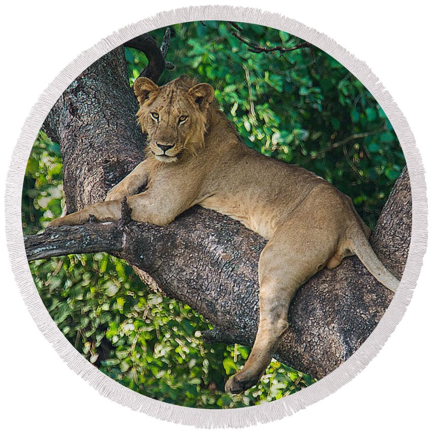 Photography Round Beach Towel featuring the photograph African Lion Panthera Leo On Tree, Lake by Panoramic Images