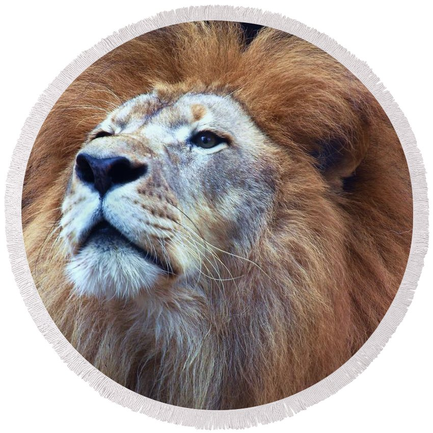 Wildlife Round Beach Towel featuring the photograph African Lion by Randy Matthews