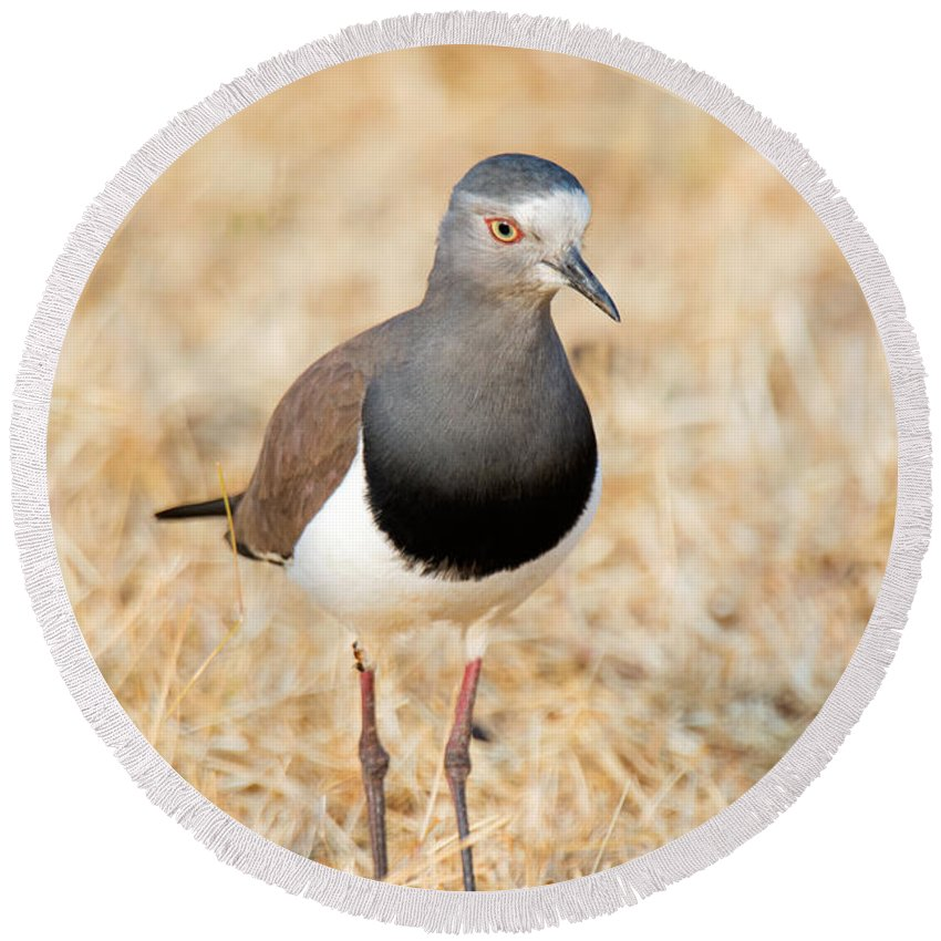 Photography Round Beach Towel featuring the photograph African Wattled Lapwing Vanellus by Panoramic Images