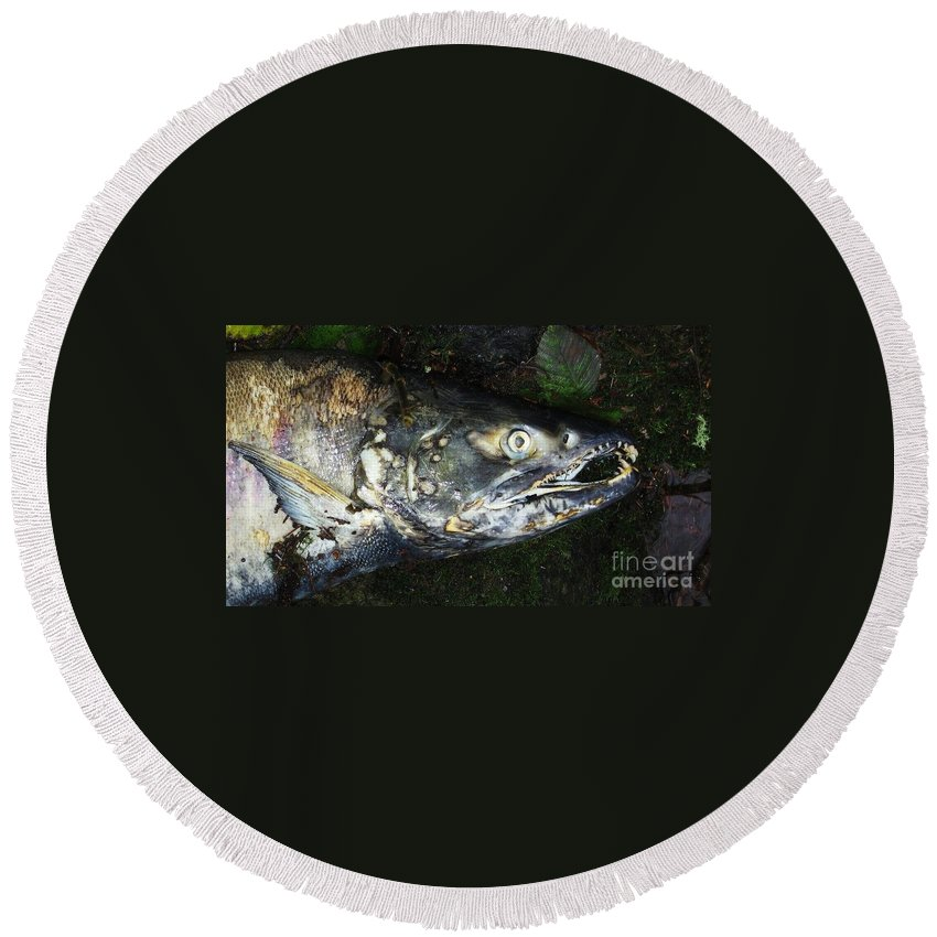 Photography Salmon Death Fish River Malahat Hatch Round Beach Towel featuring the photograph After Death by Seon-Jeong Kim