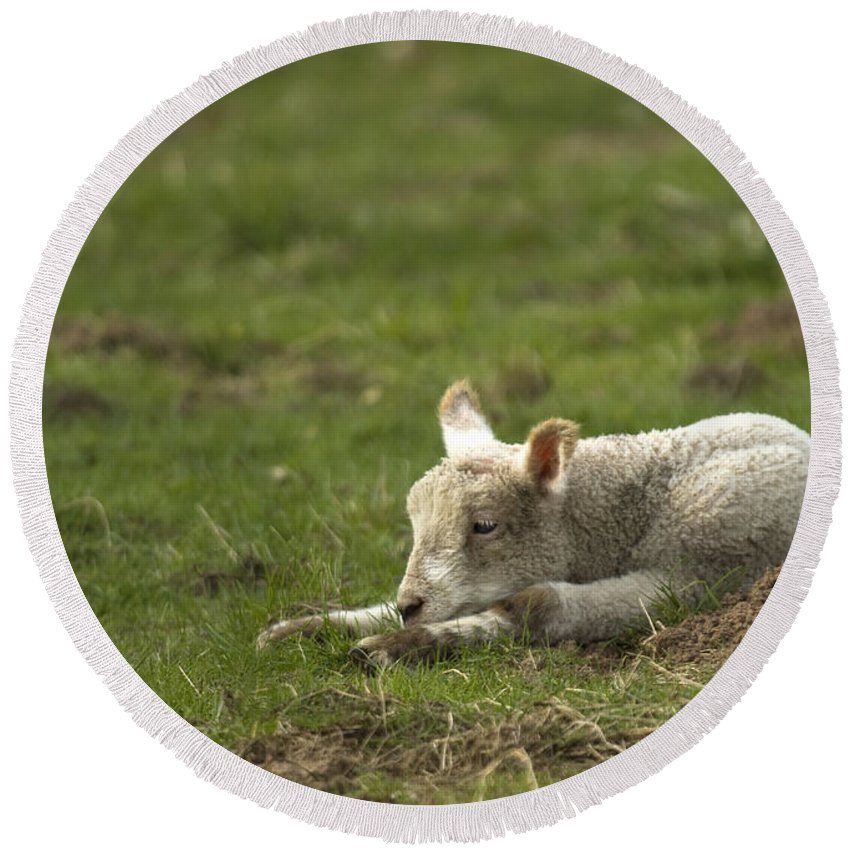 Lamb Round Beach Towel featuring the photograph Afternoon Nap by Angel Ciesniarska