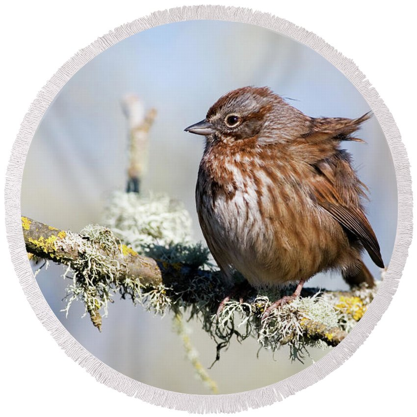 Song Sparrow Round Beach Towel featuring the photograph Against The Wind by Randall Ingalls