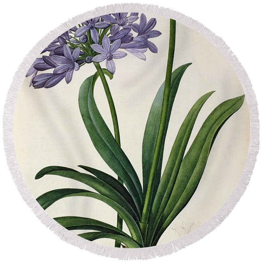 Agapanthus Round Beach Towel featuring the painting Agapanthus Umbrellatus by Pierre Redoute