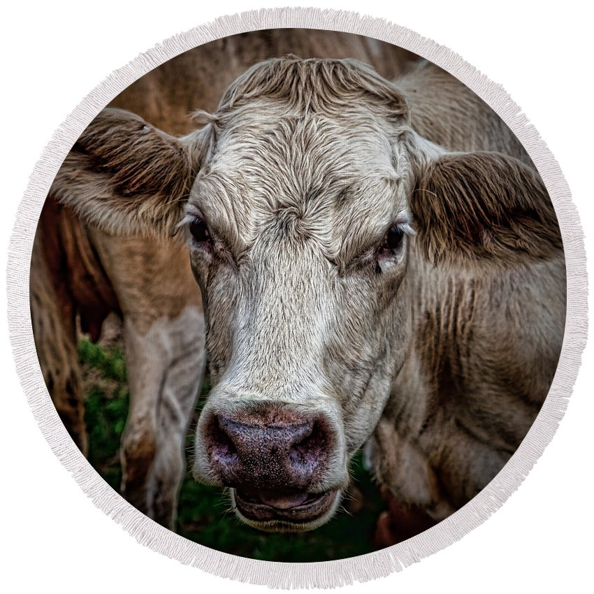 Cow Round Beach Towel featuring the photograph Ain't She Beautiful by Chris Lord