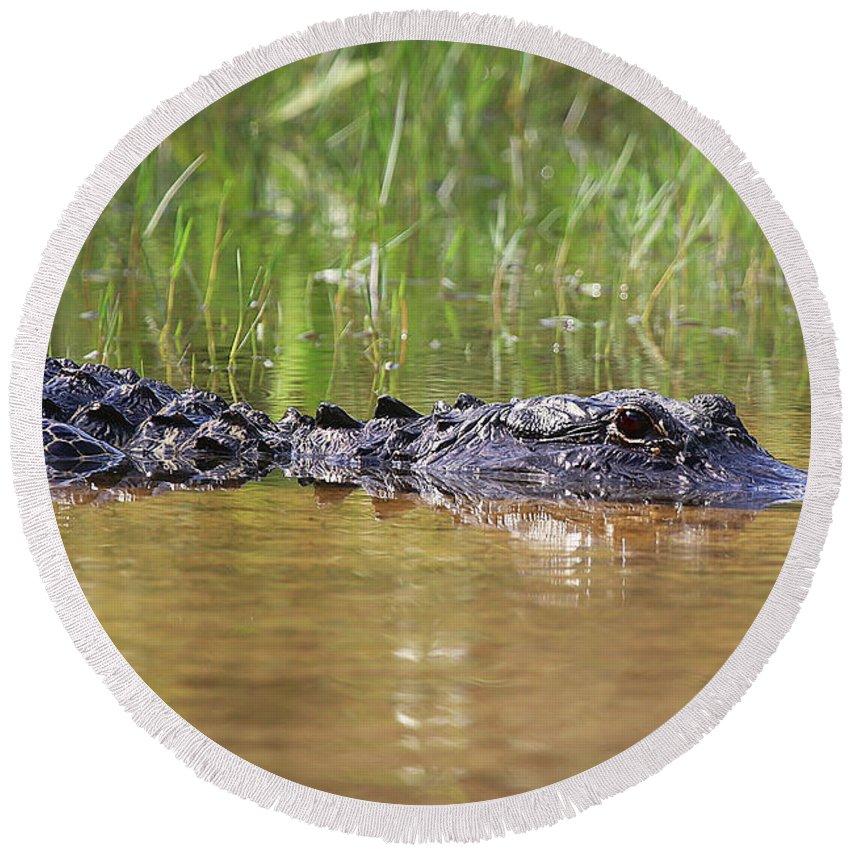 Alligator Round Beach Towel featuring the photograph Alligator by Dennis Goodman
