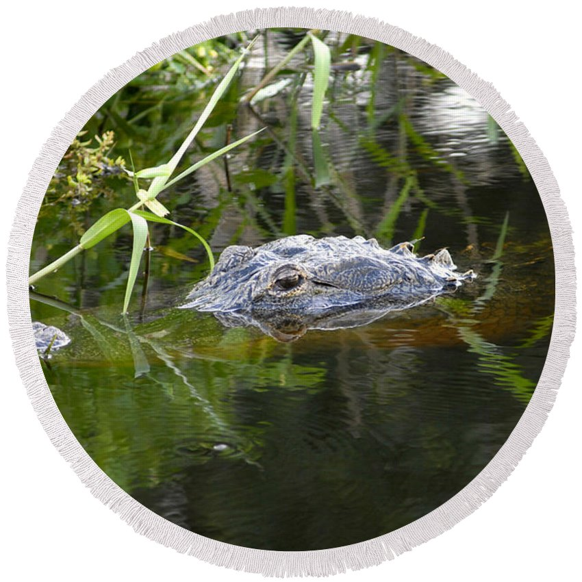 Alligator Round Beach Towel featuring the photograph Alligator Hunting by David Lee Thompson