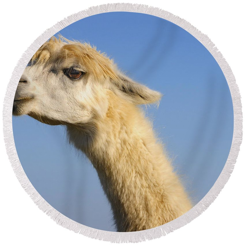 Skip Hunt Round Beach Towel featuring the photograph Alpaca by Skip Hunt