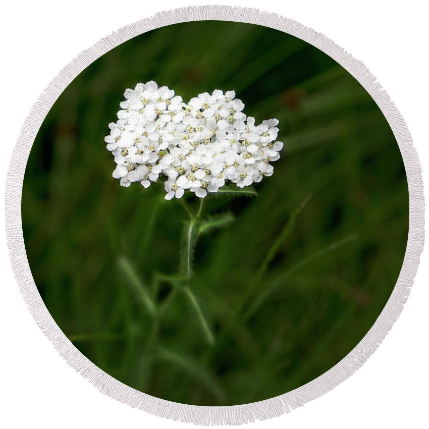 White Round Beach Towel featuring the photograph Alpine Yarrow Wildflower 1 by Alisha Jurgens