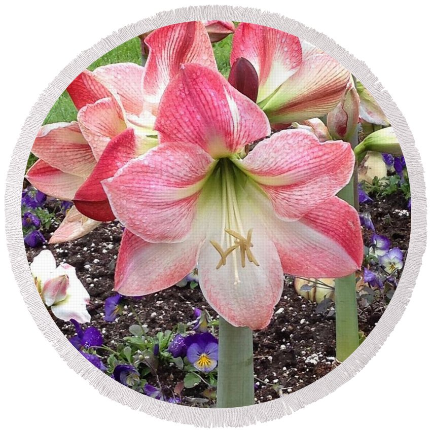 Amaryllis Round Beach Towel featuring the photograph Amazing Amaryllis - Pink And White Apple Blossom Hippeastrum Hybrid by Sylvie Marie