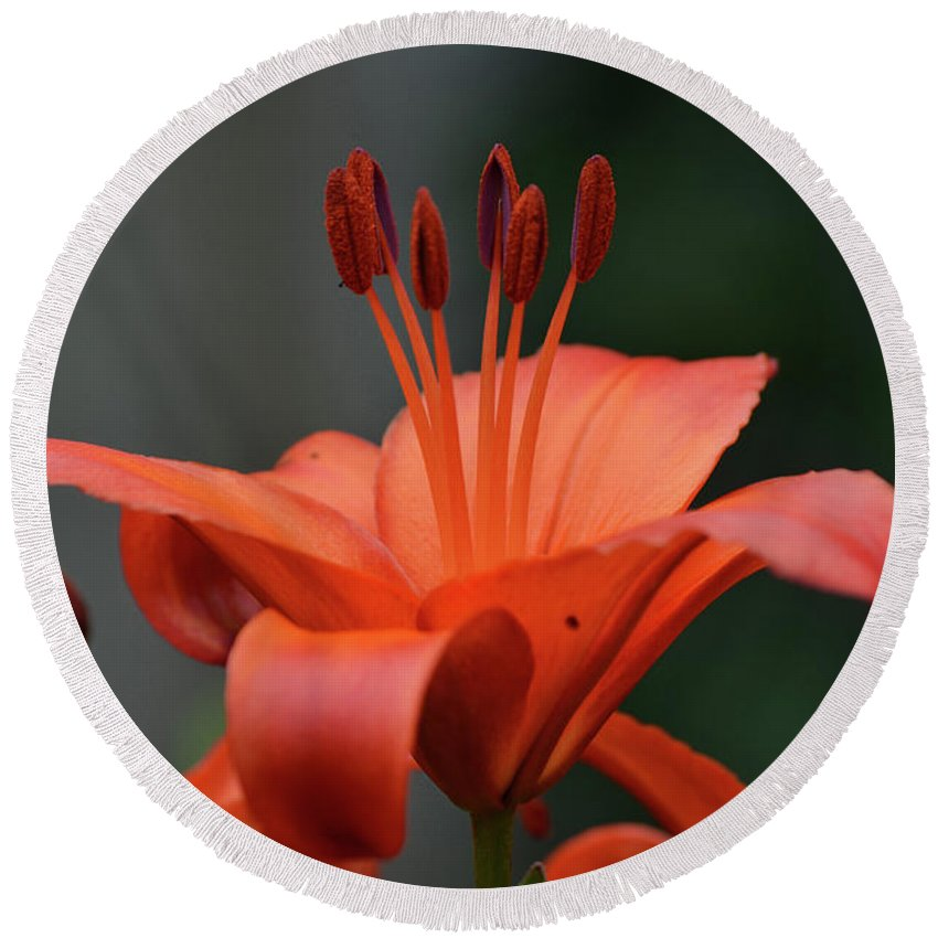 Lily Round Beach Towel featuring the photograph Amazing Blooming Orange Lilies Flowering In A Garden by DejaVu Designs