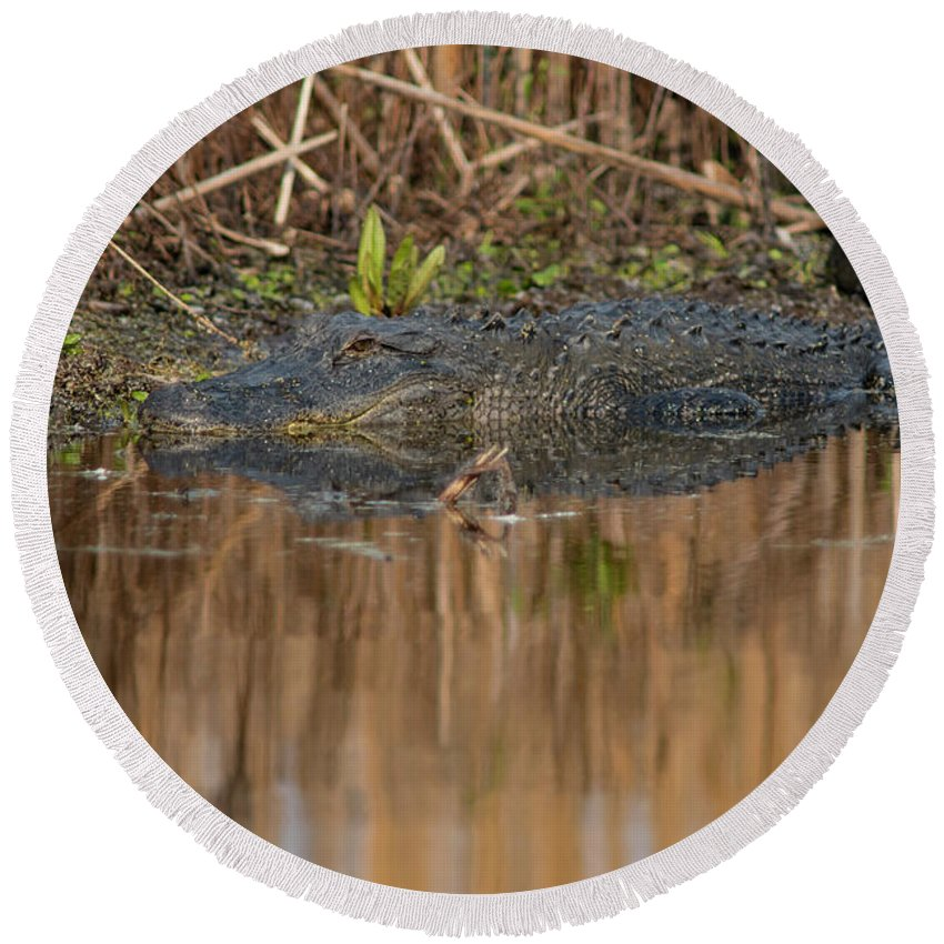 Nature Round Beach Towel featuring the photograph American Aligator by Gunter Weber