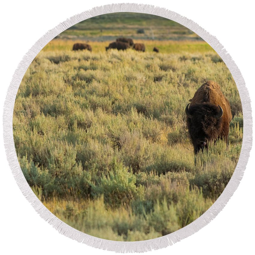 American Bison Round Beach Towel featuring the photograph American Bison by Sebastian Musial