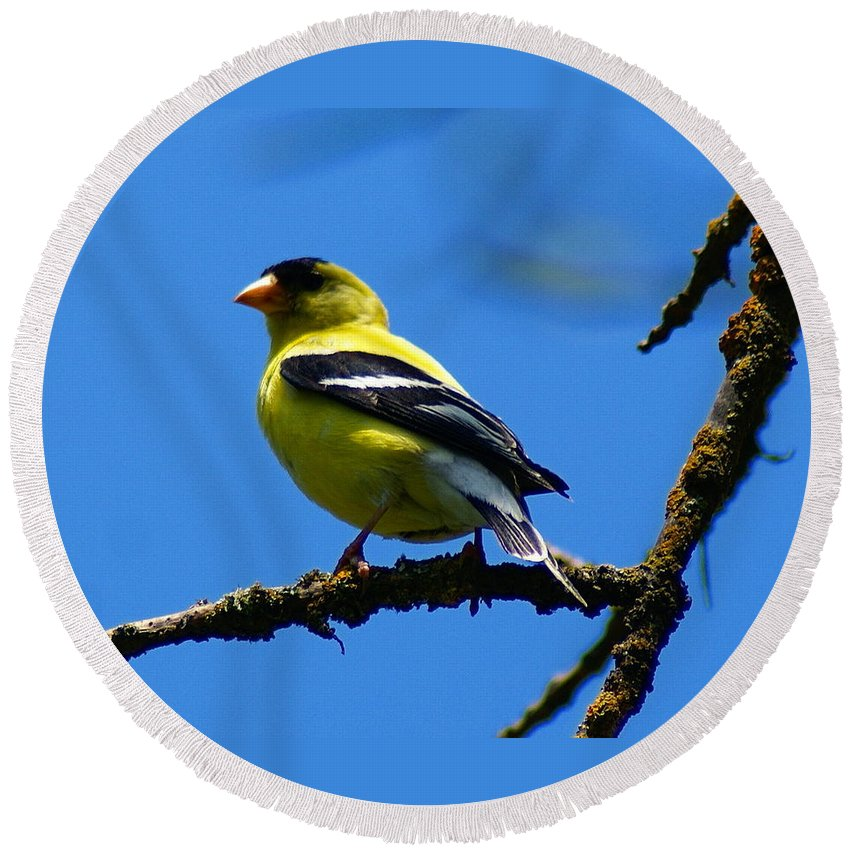 Birds Round Beach Towel featuring the photograph American Goldfinch 1 by Ben Upham III