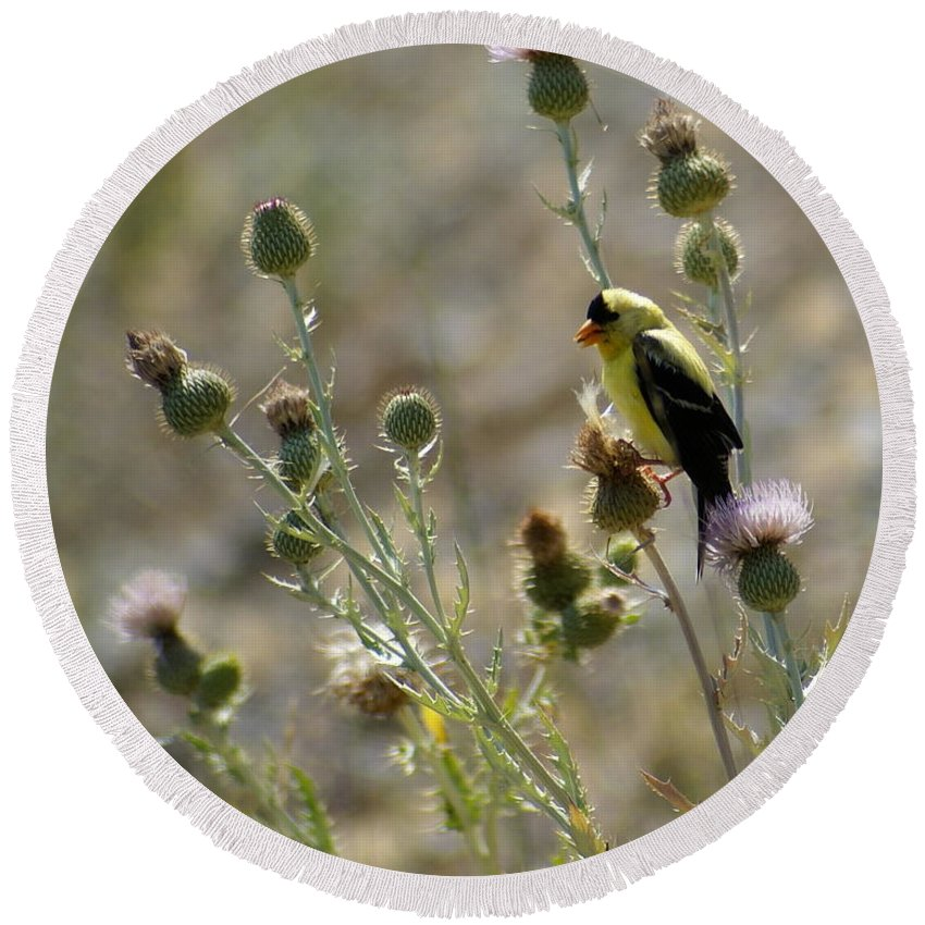 Birds Round Beach Towel featuring the photograph American Goldfinch Having Lunch On Bakery Hill 2 by Ben Upham III