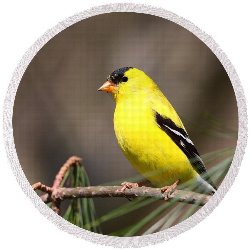 Goldfinch Round Beach Towel featuring the photograph American Goldfinch II by Bruce J Robinson