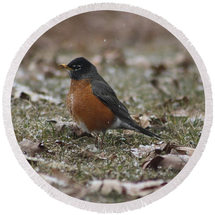 Robin Round Beach Towel featuring the photograph American Robin by Adam Schneider