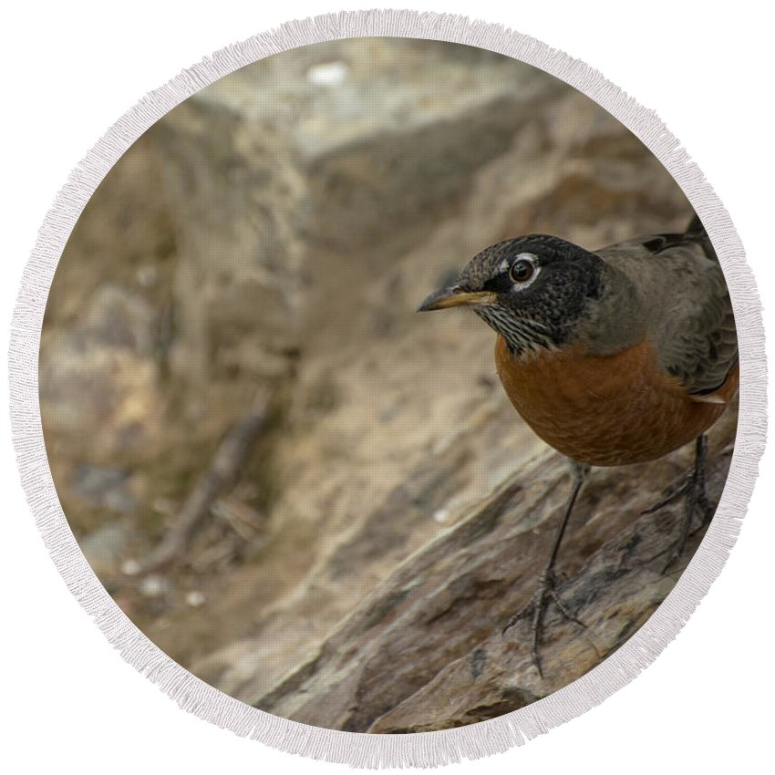 Bird Round Beach Towel featuring the photograph American Robin by Constance Puttkemery