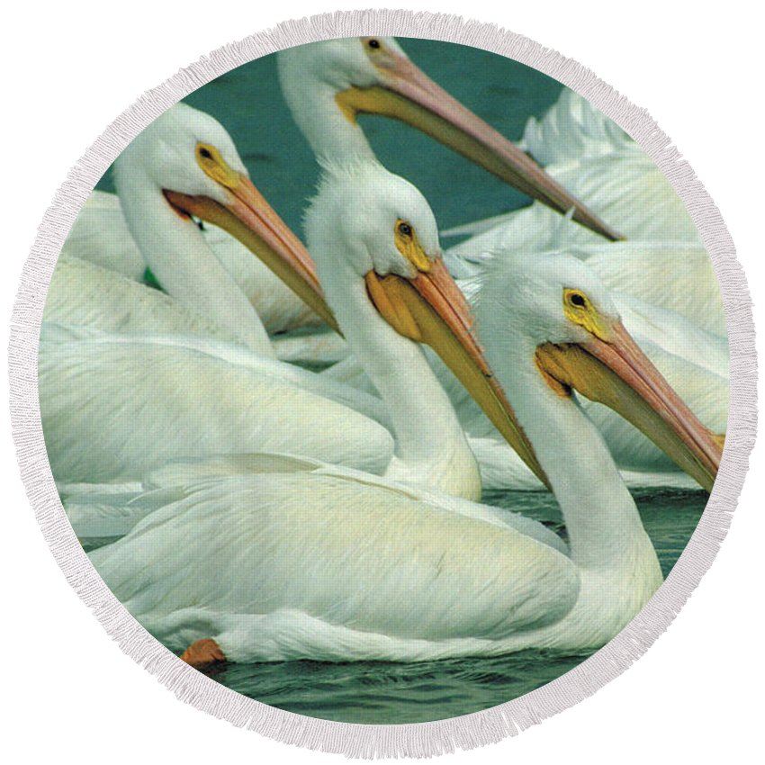 White Pelicans Round Beach Towel featuring the photograph American White Pelicans by Bruce Morrison